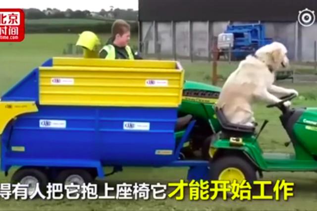 """别人家的狗:金毛变身""""老司机"""" 割草耕地十项全能"""