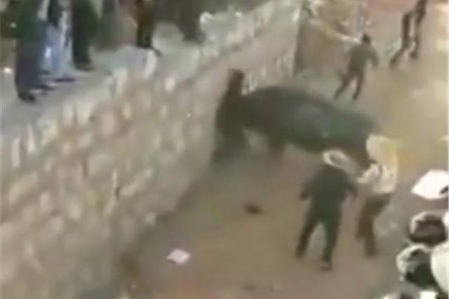 斗牛大赛一头牛突然失控 发狂顶伤两名观众