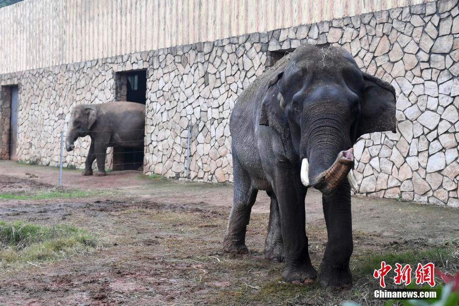 生态动物园大象踩死驯养员
