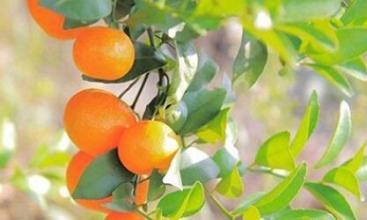 桂林沙糖桔获农产品地理标志登记 产值达80亿元