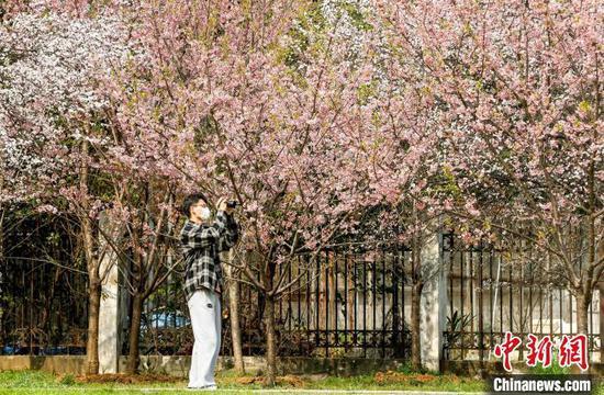 2月23日,武汉大学早樱已盛放 张畅 摄