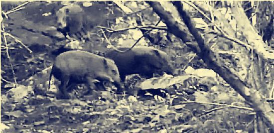 野猪正在撕咬山羊(视频截图)。