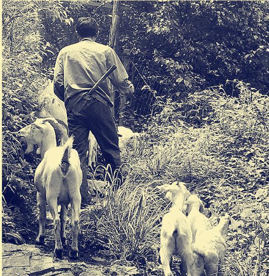 胡茂华在大明山放羊。