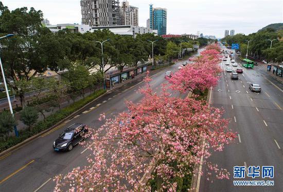 这是美丽异木棉花竞相绽放的广西柳州市东环大道(12月1日无人机拍摄)。