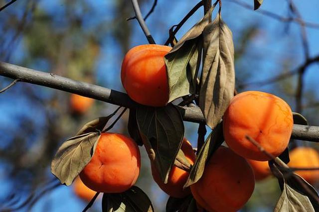 津门磨盘柿走出国门 本地区新鲜水果首次出口