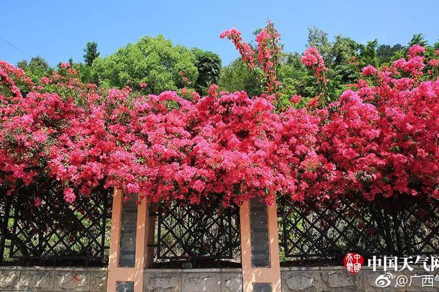 南宁青环路三角梅绚丽绽放 染红了一条街