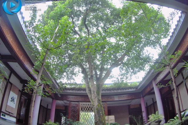 巴南有棵三百多岁的金桂树 相传种于乾隆年间