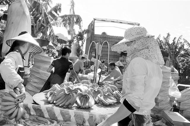 南宁市武鸣区22万亩香蕉喜获丰收 香蕉价格回暖