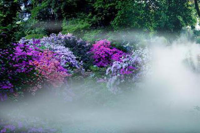 武汉植物园5万株杜鹃怒放 红霞映雾宛若仙境