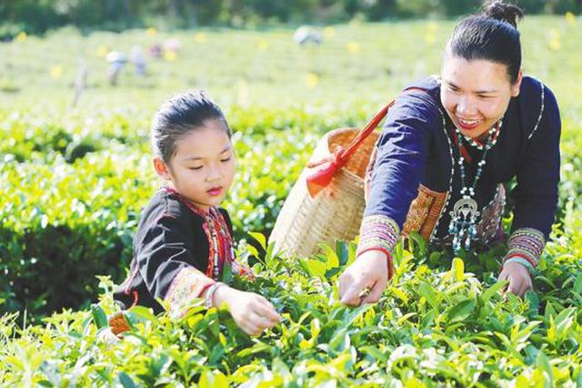 白沙牙叉镇符小芳:有机茶叶吐芬芳