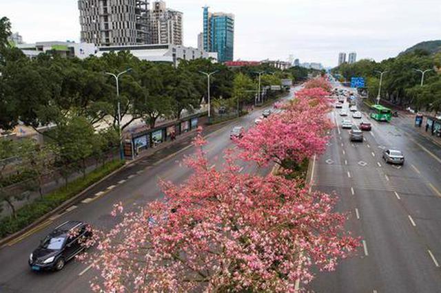 柳州:美丽异木棉花海盛放 在冬天欣赏鲜花绽放(图)