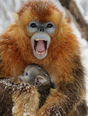四月春雪突降大龙潭 金丝猴们措手不及