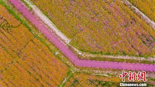 图为航拍三亚海棠湾国家水稻公园千亩花海。 骆云飞 摄