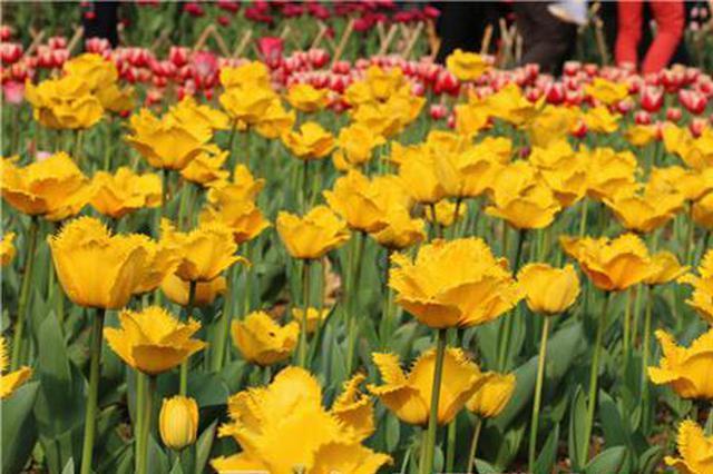 约起来!美美的郁金香叫大家去柳州园博园看它们啦
