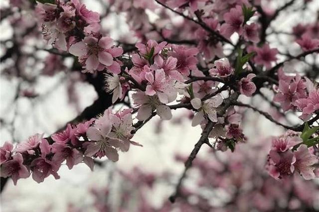 三月与灌阳桃花来场美丽邂逅!错过就要再等一年
