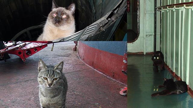 铲屎的别拍我!俄罗斯水手猫随航母赴叙利亚参战