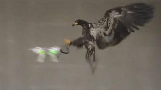 英警方欲豢养老鹰攻击和猎捕无人机