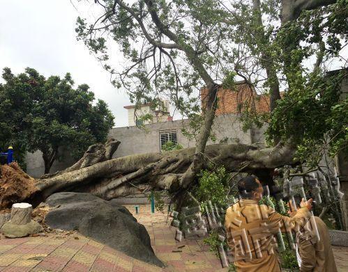 泉州霞美社区,250岁榕树被吹倒