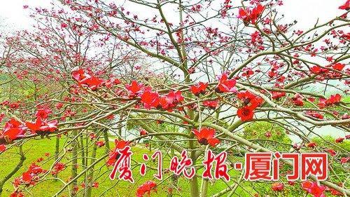 厦门本月木棉花盛开 网友晒创意照片(组图)