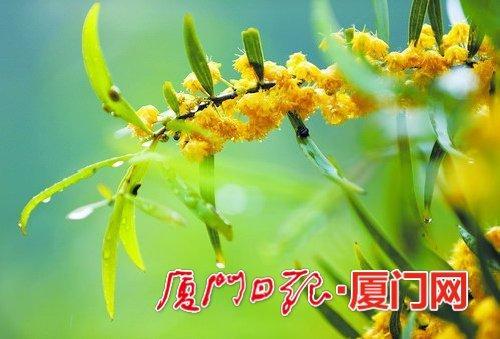 五月的厦门相思树相继开花 金黄色的花海美翻了 组图