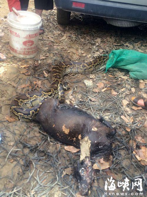 4米多长39斤重大蟒蛇被抓后 吐出一整只山羊(图)