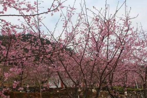   附大泉州最全赏樱花攻略