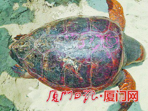 珍珠湾附近发现蠵龟,背甲上有符文。(报料人提供)