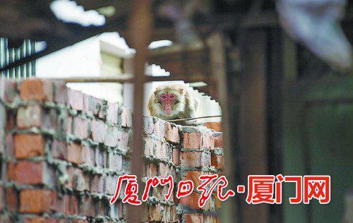 猴子躲在羊舍的围墙上。