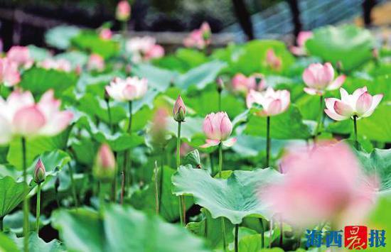 莲花公园荷花开得正盛。