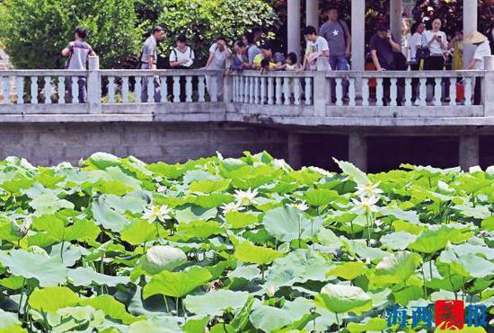 南普陀荷花怒放,吸引游客观赏拍照。