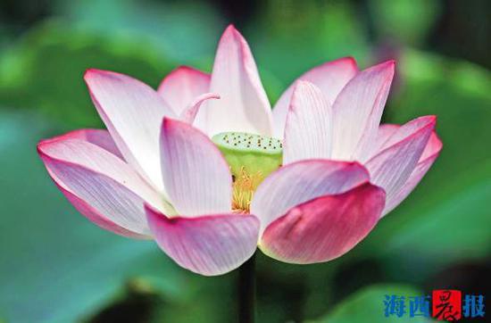 莲花公园荷花风情万种。