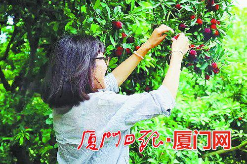 时间刚好,天气也不错,今年到漳州采摘杨梅的人数比往年多。(通讯员邱建华摄)
