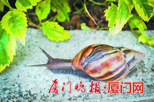 -非洲大蜗牛。本报拍客云中竹摄