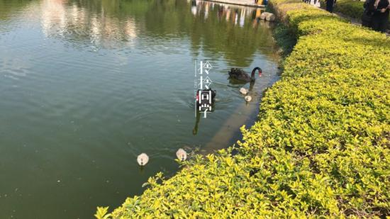 芙蓉湖畔的黑天鹅。