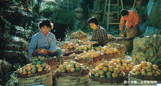 上世纪80年代的猛虎柑桔场