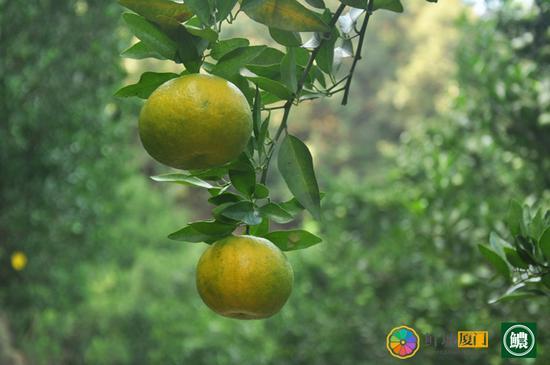 即将成熟的芦柑