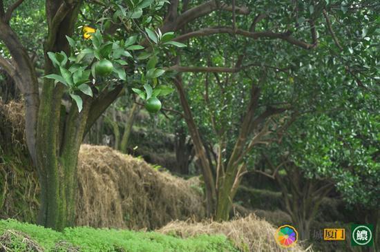 层层叠叠的芦柑