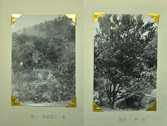 【老照片】当年的猛虎柑橘场