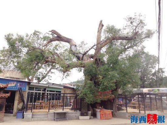 公树高大粗壮,与婆树相距不足百米。记者 董春辉 摄