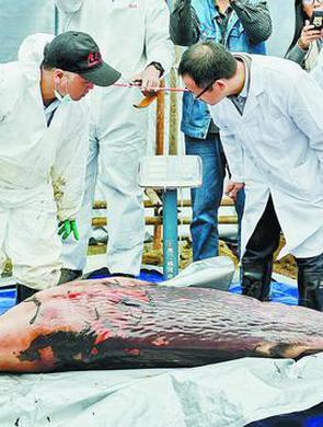 厦大专家团队给抹香鲸宝宝做CT