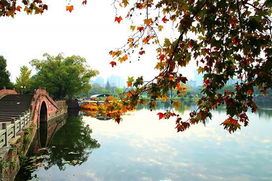 月湖公园畔梧桐叶正红