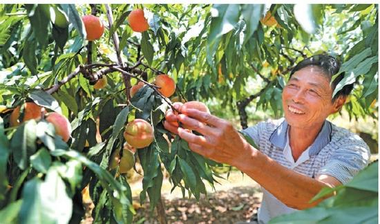 胡陈水蜜桃丰产丰收