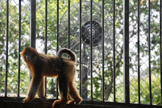 (硕大的电风扇吹来的风,让猴子倍感凉爽。记者崔引 摄)
