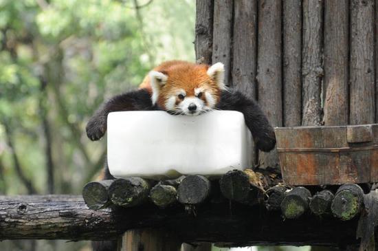 (小熊猫:就想这样静静地瘫着,一直到太阳下山。记者崔引 摄)