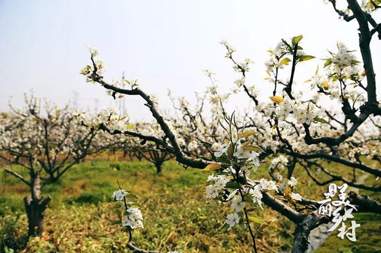 """面对洁白无瑕的花朵,只能发出""""忽如一夜春风来,千树万树梨花开""""的感慨了!"""