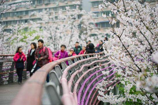 宁波樱花公园再次展现樱花美景 时隔九年引人注目