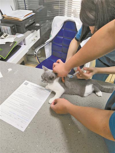 一只宠物猫正在接受疫苗接种。(徐展新摄)