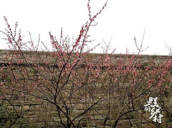 梅花配上古朴悠远的老城墙,是不是也别有一番风味呢?
