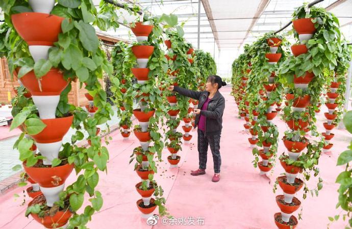 余姚新品种蔬菜助力增收 亩年产量可达3000多公斤