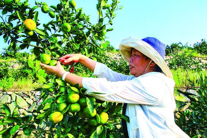 定塘镇绿森果蔬专业合作社收获早橘 将持续供应市场